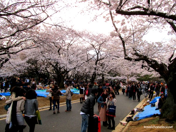 People celebrating by having Hanami (picnic) in the parks.