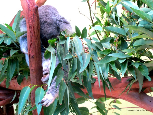 Koalas sleep for hours on their branches.