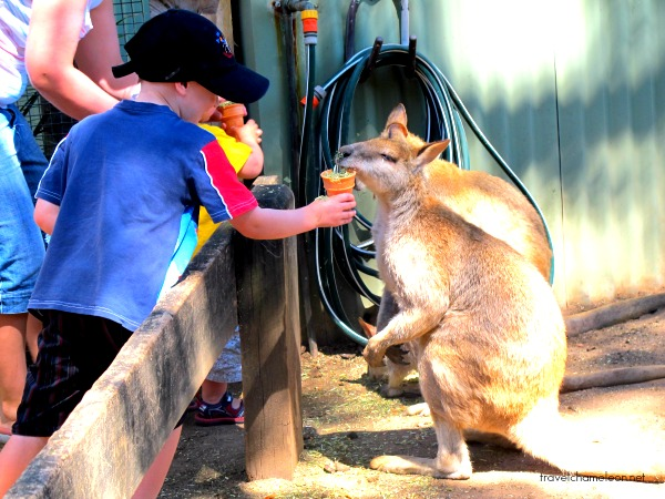 The kangaroos can be as tall as the kids!