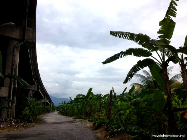 Banana trees under the highway
