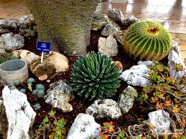 Lovely cacti plant can be found in the Jardin du Exotique.