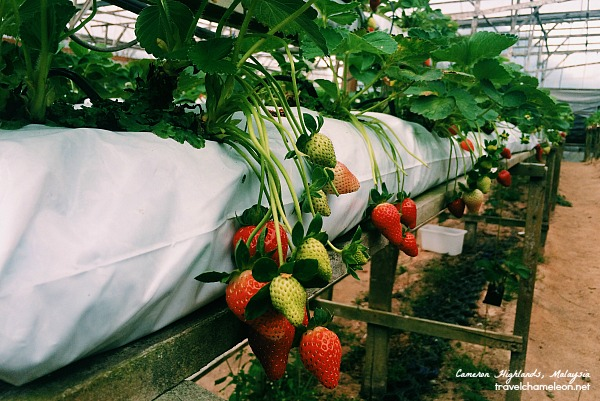 Pick your own strawberries in Raju's Strawberry Farm.