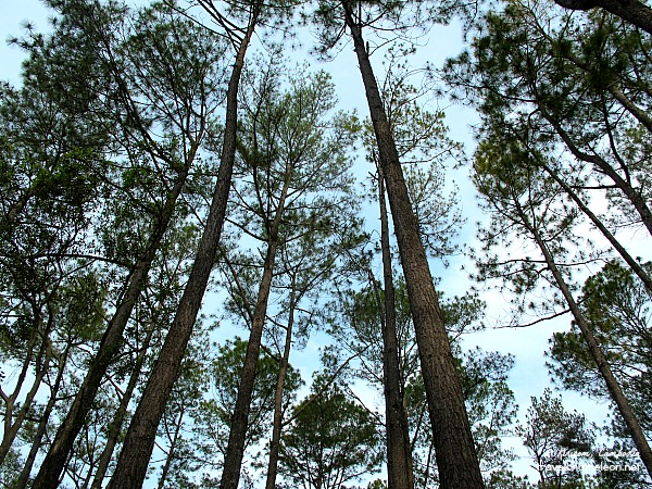 Kirirom-Mountain-Pine-Trees